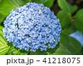 あじさい 紫陽花 花の写真 41218075