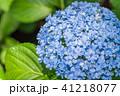 あじさい 紫陽花 花の写真 41218077