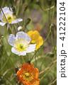 アイスランドポピー 植物 花の写真 41222104