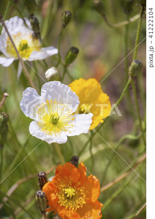 白、黄色、オレンジのアイスランドポピー 41222104