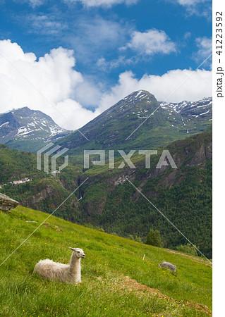 llamas in the mountains の写真素材 41223592 pixta