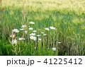 麦 麦畑 花の写真 41225412