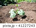 かぼちゃ 苗 家庭菜園の写真 41227243