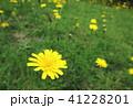 たんぽぽ 41228201