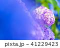 あじさい 紫陽花 花の写真 41229423