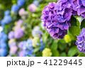 あじさい 紫陽花 花の写真 41229445