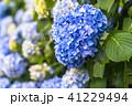 あじさい 紫陽花 花の写真 41229494