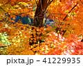 紅葉 楓 木の写真 41229935