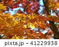 紅葉 楓 葉の写真 41229938