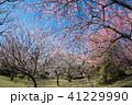 樹木 花 河津桜の写真 41229990