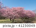 樹木 花 河津桜の写真 41230049