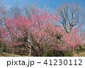 樹木 花 河津桜の写真 41230112