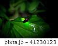 ゲンジボタル ホタル 発光の写真 41230123