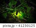 ゲンジボタル ホタル 発光の写真 41230125