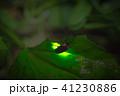 ゲンジボタル ホタル 発光の写真 41230886
