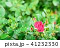 バラ 薔薇 花の写真 41232330