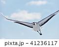 タンチョウ 鶴 空の写真 41236117