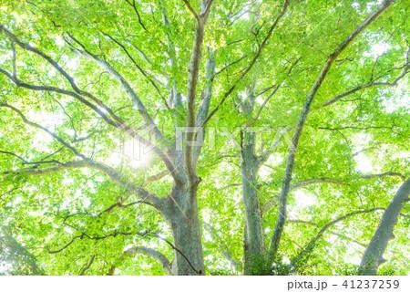 プラタナスの木々 41237259