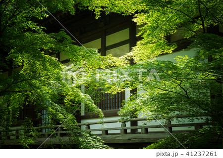 新緑の楓と日本の建築 41237261