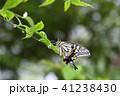 アゲハチョウと梅雨 41238430