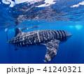 ジンベイザメ 水中 海中の写真 41240321