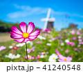花博記念公園のコスモスと風車 41240548