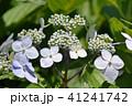 ガクアジサイ 花 青紫色の写真 41241742