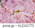 メジロ 寒桜 桜の写真 41242775