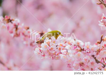 メジロ 寒桜 41242775