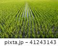 水田 田んぼ 晴れの写真 41243143