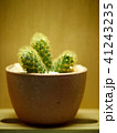 さぼてん サボテン 仙人掌の写真 41243235