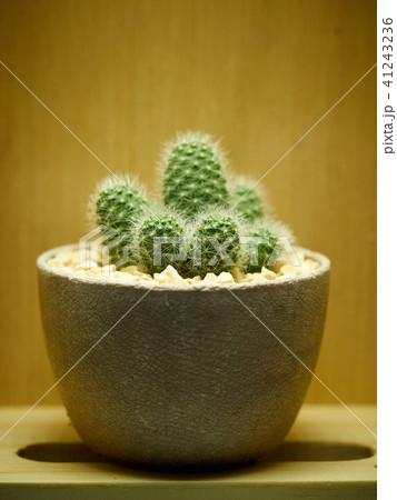 Cactus. Mammillaria elongata 41243236