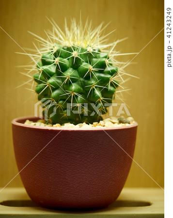 Cactus. Golden barrel cactus 41243249