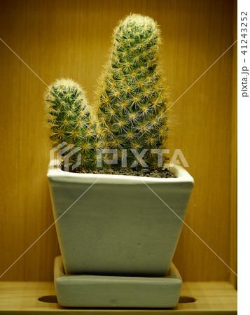 Cactus. Mammillaria elongata 41243252