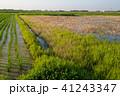 水田 風景 田んぼの写真 41243347