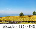 淡路島 あわじ花さじき 花壇の写真 41244543