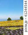 淡路島 あわじ花さじき 花壇の写真 41244544