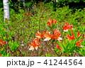 レンゲツツジ ツツジ 植物の写真 41244564