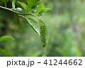 モンキアゲハの幼虫 41244662