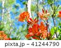 レンゲツツジ ツツジ 植物の写真 41244790