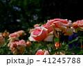 バラ 花 薔薇の写真 41245788