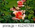 バラ 花 薔薇の写真 41245789