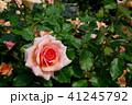 バラ 花 薔薇の写真 41245792
