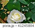 バラ 花 薔薇の写真 41245804