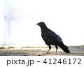 烏 野鳥 鳥の写真 41246172