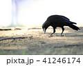 烏 野鳥 鳥の写真 41246174