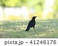 烏 野鳥 鳥の写真 41246176