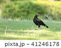 烏 野鳥 鳥の写真 41246178