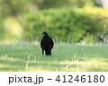 烏 野鳥 鳥の写真 41246180