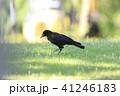 烏 野鳥 鳥の写真 41246183
